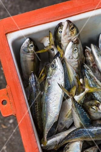 Fresh mackerel in a cool box (Chiang Rai, Thailand)