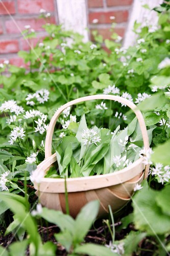 Wild garlic, planted outside and in a basket