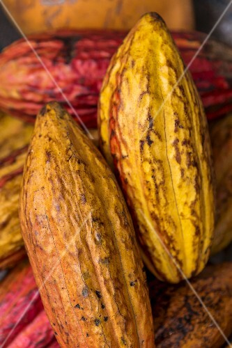 Ripe cocoa pods