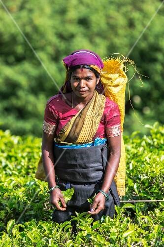 A tea picker wearing a purple headscarf