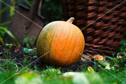A pumpkin in a garden