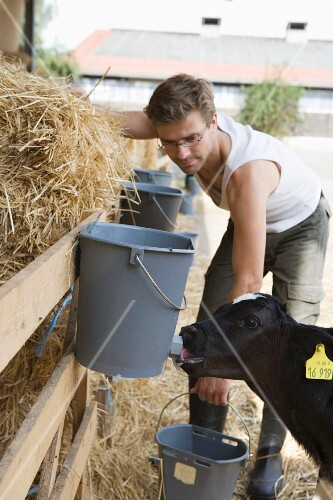 A farmer feeding a calf and a barn