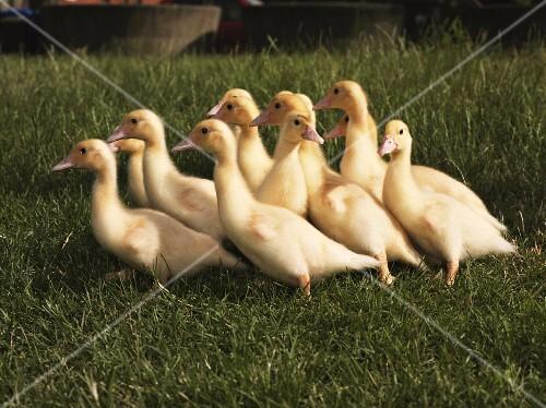 Baby ducks in a field