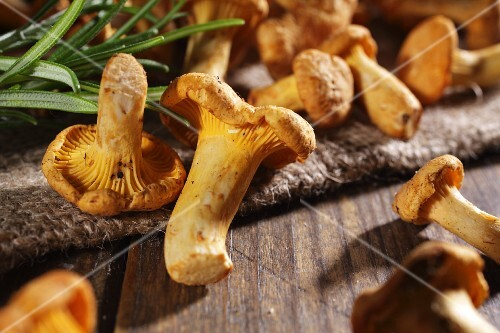 Fresh chanterelle mushrooms with rosemary on a wooden surface