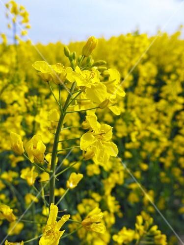 A field of rapeseed flowers
