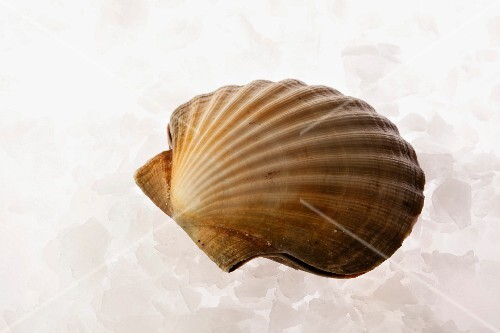 A closed scallop on ice