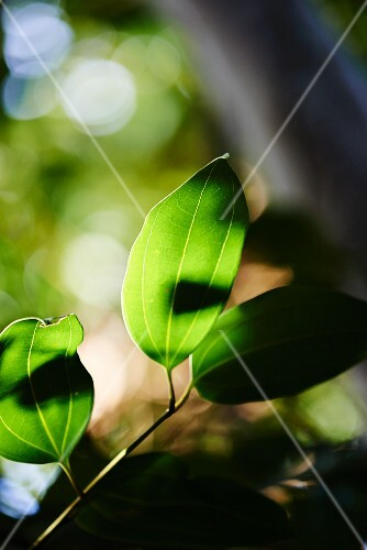 Cinnamon tree leaves (close-up)