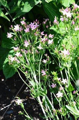 Flowering centaurium