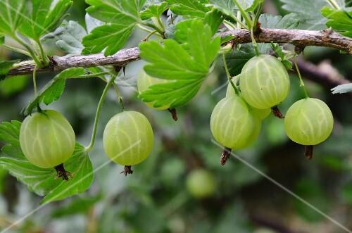 Green gooseberries on the bush