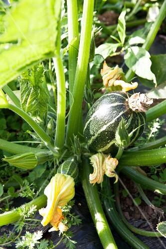 zucchinipflanze mit zucchini und zucchinibl ten bild kaufen 11296264 stockfood. Black Bedroom Furniture Sets. Home Design Ideas