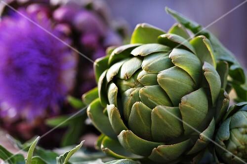 Artichokes and artichoke flowers