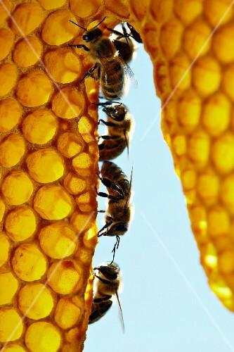 A row of honey bees