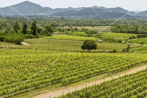 A vineyard in the Hua Hin Hills, Thailand