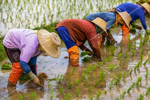 Workers in a Thai rice paddy