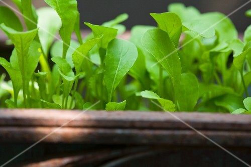 A close-up of young rocket plants in a container
