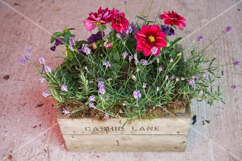 Various flowers and lavender planted in an old wooden box