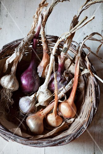Freshly harvested garlic and onions in a wicker basket