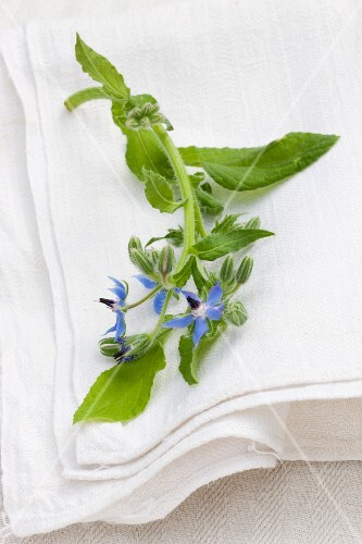 Flowering borage on the linen cloth outside