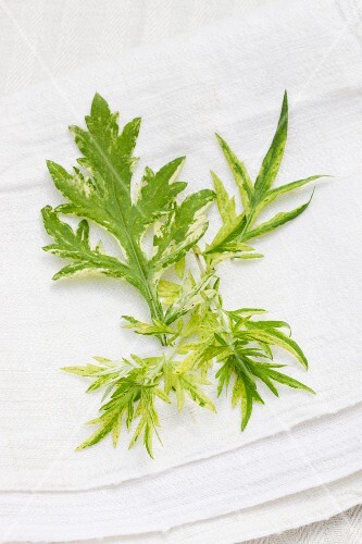 Mugwort (artemisia vulgaris) on a linen cloth outside
