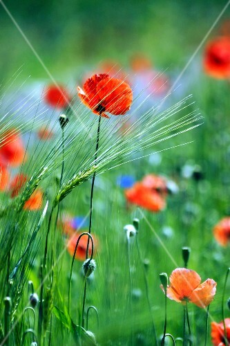 Poppies and cornflowers in a meadow