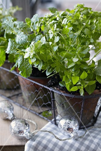 Pots of fresh herbs in a wire basket
