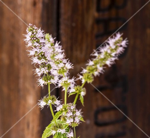 Flowering peppermint in front of a wooden crate