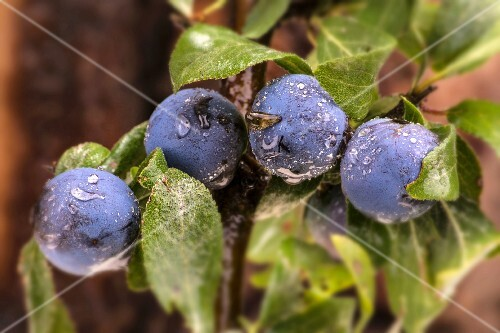 Sloes covered in dew (close-up)