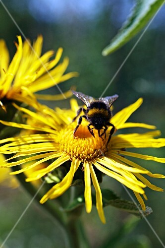 A bee on an arnica flower