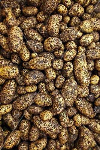 Freshly harvested Ditta potatoes, full frame