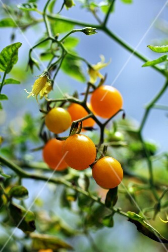 Yellow tomatoes on a plant