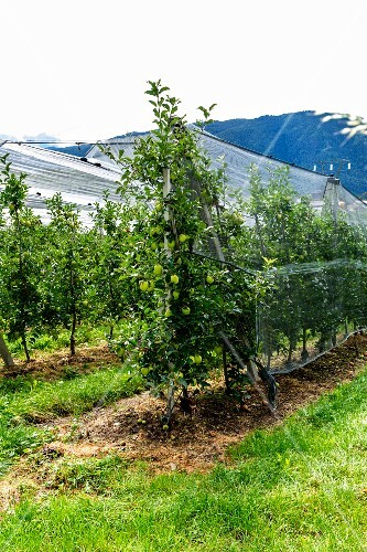 Apple trees in an orchard in Tyrol covered with nets
