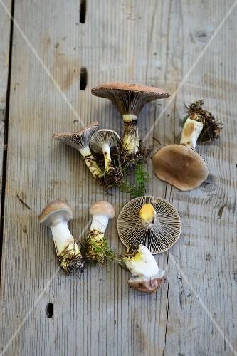 Slimy spike-cap mushrooms (Gomphidius glutinosus)