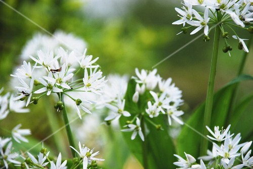Flowering wild garlic (close-up)