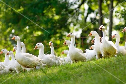 Organic Schlierbach geese in a meadow (Upper Austria)