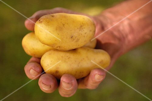 A hand holding early potatoes (wine growing region, Austria)
