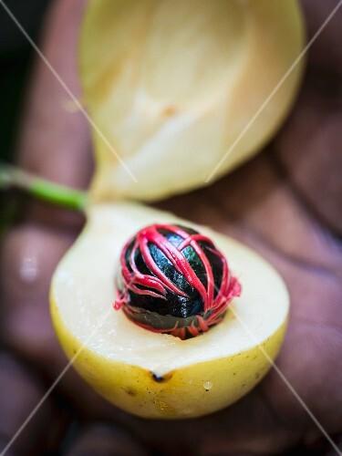 A man opening a nutmeg fruit