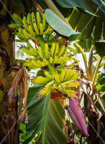 A banana flower and young bananas on Zanzibar island