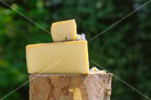 An arrangement of Alpbachtaler Heumilchkäse on a tree stump (Tyrol, Austria)