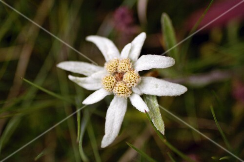 Edelweiss growing wild in the Grossglockner region (Carinthia, Austria)
