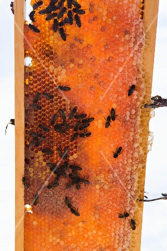 Bees on a honeycomb