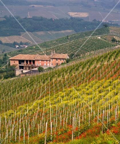 Spring poppies and mustard flowering in vineyard. Monforte d Alba, Piemonte, Italy. [Barolo]