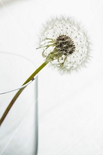 A close-up of a dandelion clock in a glass