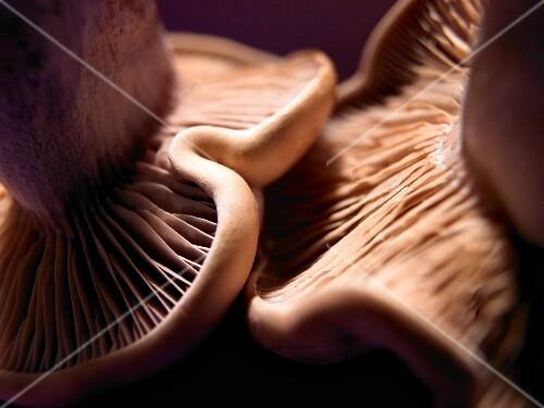 Wood blewit mushrooms (close-up)