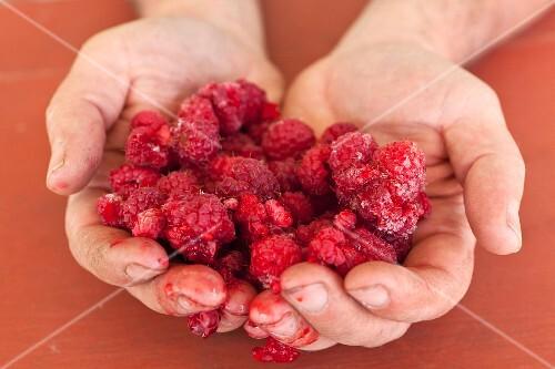Hands holding frozen raspberries
