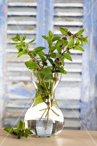 Flowering peppermint in a glass vase