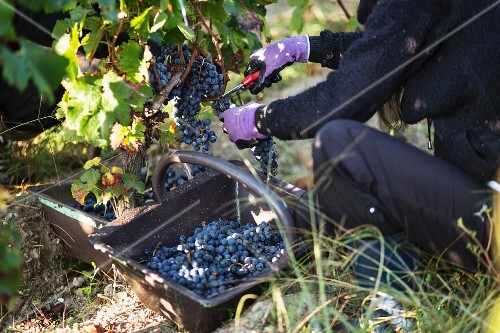 Grapes being picked in an autumnal vineyard