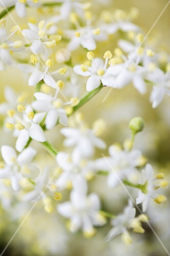 Elderflowers (close-up)