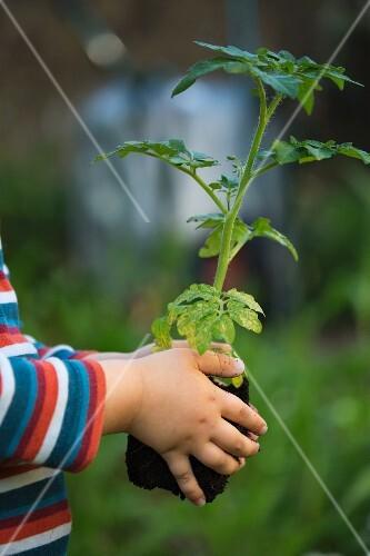 A child holding a tomato plant