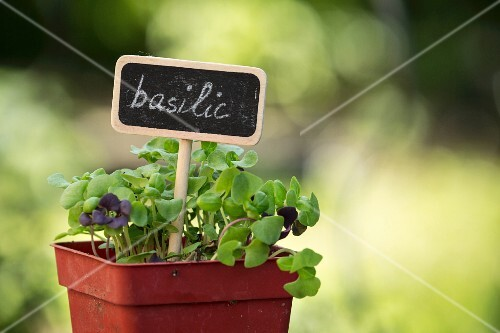A basil plant in a plastic pot with a sign