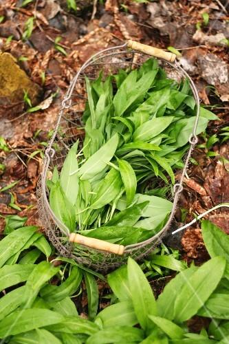 Freshly harvested wild garlic in a wire basket